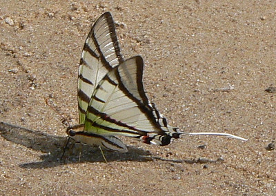 STGlaucolausKi10761 June 30, 2007   11:35 a.m.  P1010761 Protesilaus glaucolaus (leucas?) Short-lined Kite Swallowtail at lodge beach