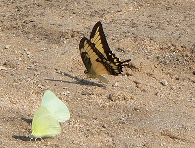 STBroad-banded10763 June 30, 2007  11:36 a.m.  P1010763 Broad-banded Swallowtail, Papilio astyalus, with two Statiras, at beach by lodge