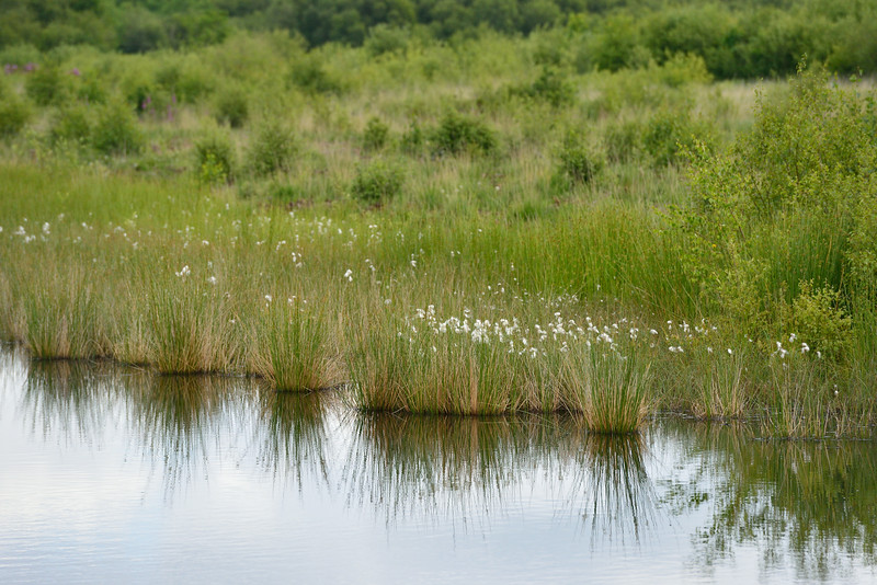 Wetlands - Cotton Grass