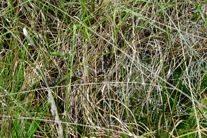 Adder Snake Hiding in Grasses