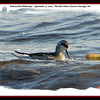 Red-necked Phalarope - September 4, 2009 - Hartlen Point, Eastern Passage, NS