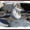 Sanderling - September 5, 2010 - Hartlen Point, Eastern Passage, NS