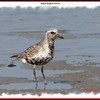 Black-bellied Plover - September 8, 2007