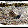 Wilson's Snipe - October 6, 2007 - River Bourgeois, Cape Breton, NS