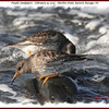 Purple Sandpipers - February 19, 2012 - Hartlen Point, Eastern Passage, NS