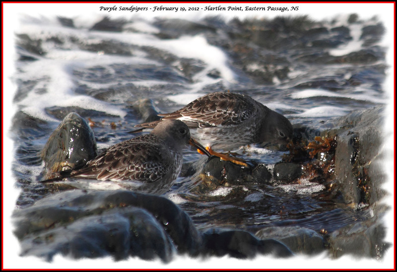 Purple Sandpiper - February 19, 2012 - Hartlen Point, Eastern Passage, NS