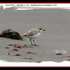 Snowy Plover - September 11, 2010 - Kingsburg Beach, Lunenburg Co., NS