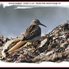 Pectoral Sandpiper - October 10, 2010 - Hartlen Point, Eastern Passage, NS