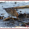 Pectoral Sandpiper - September 11, 2009 - Hartlen Point, Eastern Passage, NS