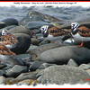 Ruddy Turnstones - May 28, 2006 - Hartlen Point, Eastern Passage, NS