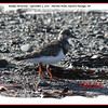 Ruddy Turnstone - September 5, 2010 - Hartlen Point,  Eastern Passage, NS