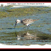 Curlew Sandpiper - August 24, 2008 - River Bourgeois, Cape Breton, NS