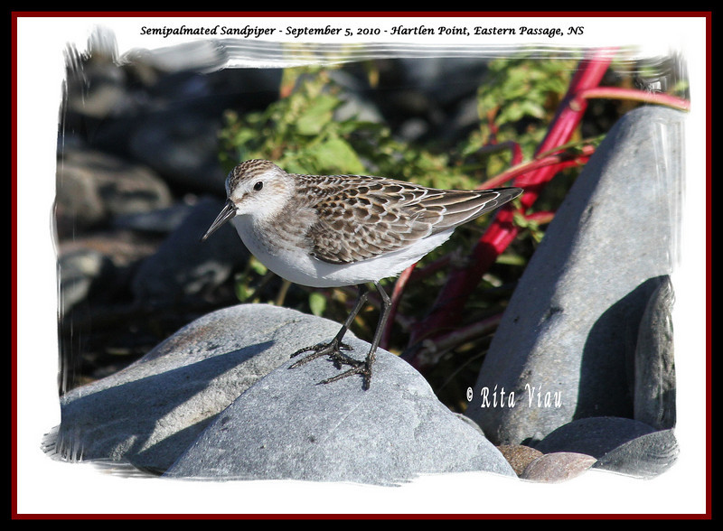 Semipalmated Sandpiper - September 5, 2010 - Hartlen Point, Eastern Passage, NS