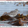 Black-bellied Plover - September 20, 2008 - Cape Sable, NS