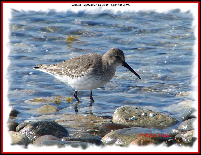 Dunlin - September 20, 2008 - Cape Sable, NS