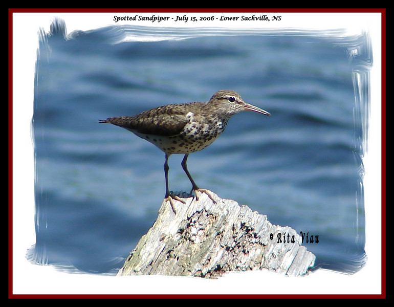 Spotted Sandpiper - July 15, 2006 - Lower Sackville, NS