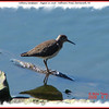 Solitary Sandpiper - August 27, 2006 - Sullivan's Pond, Dartmouth, NS