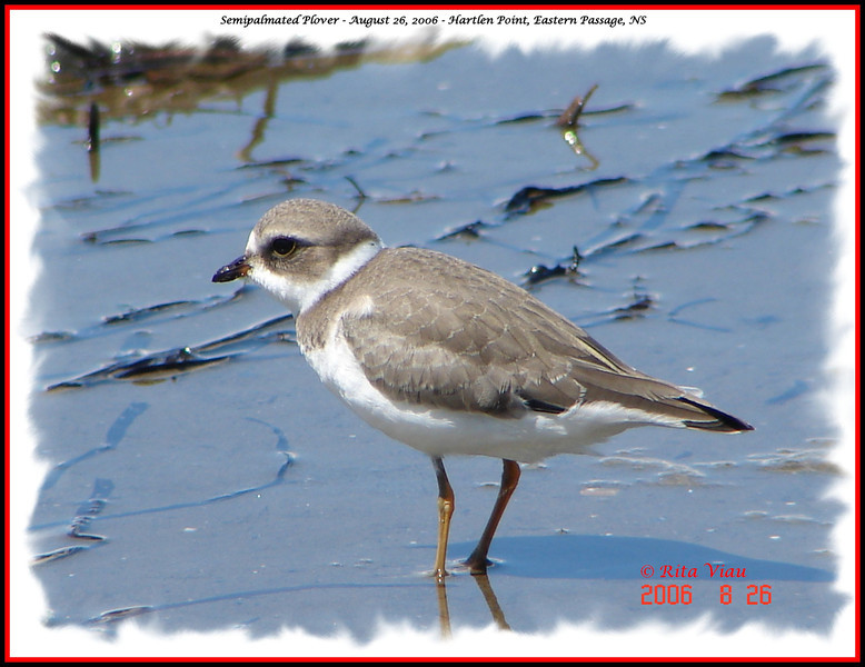 Semipalmated Plover - August 26, 2006 - Hartlen Point, Eastern Passage, NS