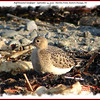 Buff-breasted Sandpiper - September 14, 2009 - Hartlen Point, Eastern Passage, NS