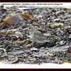 American Golden Plover - September 12, 2010 - Hartlen Point, Eastern Passage, NS