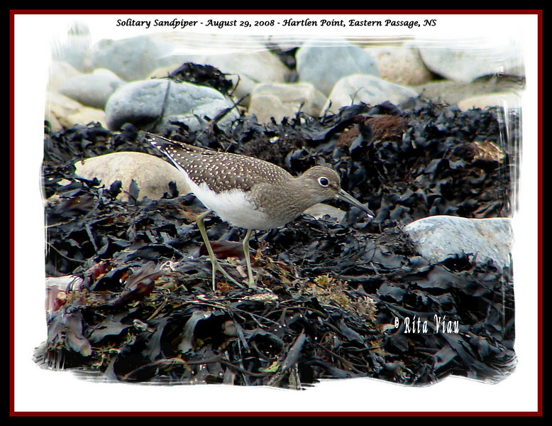 Solitary Sandpiper - August 29, 2008 - Hartlen Point, Eastern Passage, NS