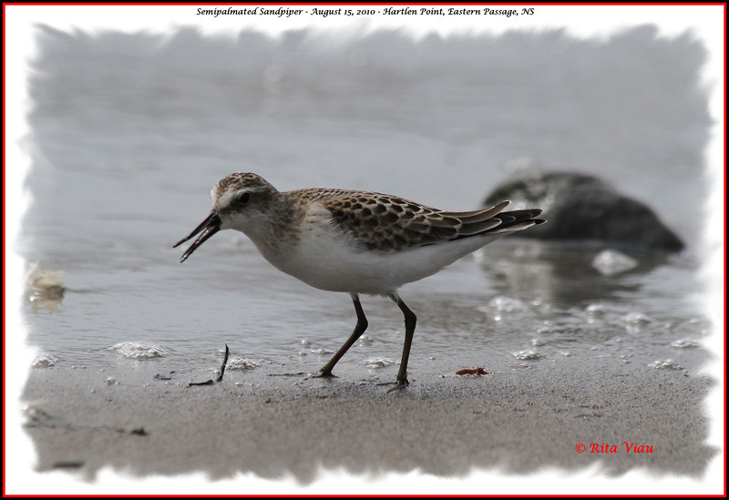 Semipalmated Sandpiper - August 15, 2010 - Hartlen Point, Eastern Passage, NS