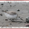 Sanderling - April 3, 2011 - Hartlen Point, Eastern Passage, NS
