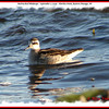 Red-necked Phalarope - September 2, 2009 - Hartlen Point, Eastern Passage, NS