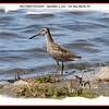Short-billed Dowitcher - September 5, 2010 - Cow Bay Marsh, NS