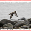 American Golden Plover - September 12, 2010 - Hartlen Point, Eastern Passage, NS