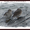 Purple Sandpipers - February 4, 2006 - Point Pleasant Park, Halifax, NS