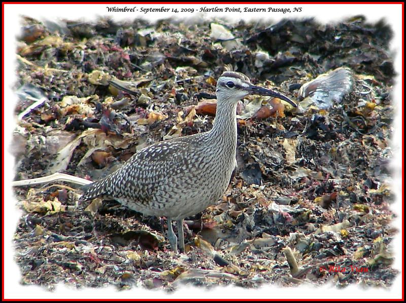 Whimbrel - September 14, 2009 - Hartlen Point, Eastern Passage, NS