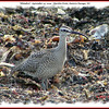 Whimbrel - September 14, 2009 - Hartlen Point, Eastern Passage, NS