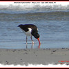 American Oystercatcher - May 5, 2010 - Cape Sable Island, NS
