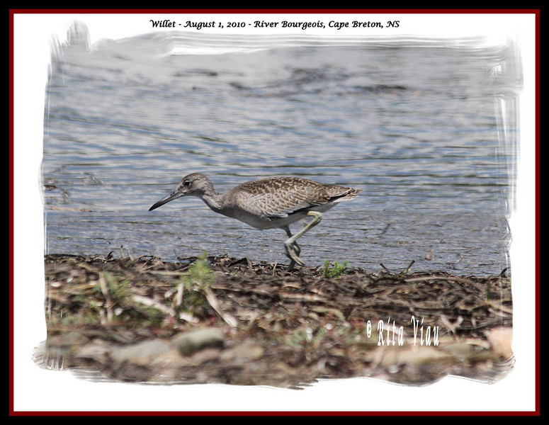 Willet - August 1, 2010 - River Bourgeois, Cape Breton, NS