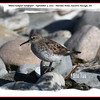 White-rumped Sandpiper - September 5, 2010 - Hartlen Point, Eastern Passage, NS
