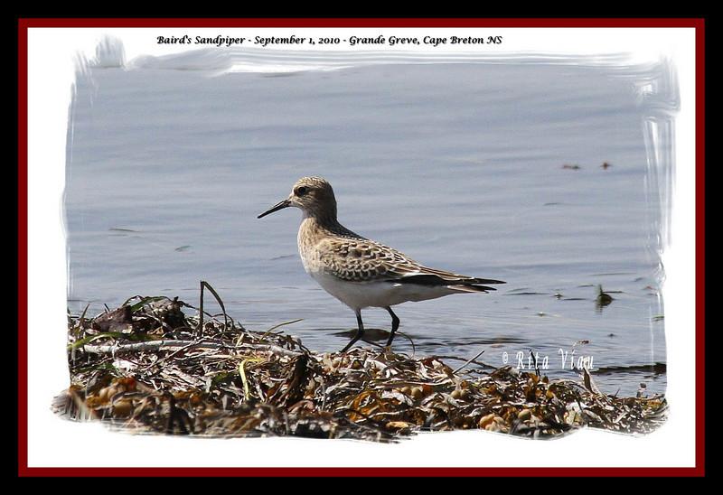 Baird's Sandpiper - September 1, 2010 - Grande Greve, Cape Breton, NS