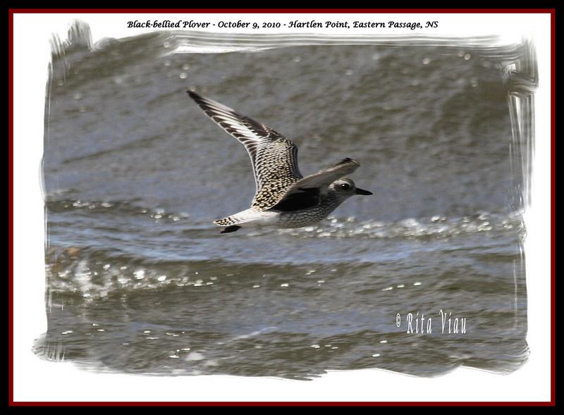 Black-bellied Plover - October 9, 2010 - Hartlen Point, Eastern Passage, NS