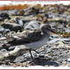 White-rumped Sandpiper - September 10, 2011 - Hartlen Point, Eastern Passage, NS