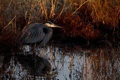 Great Blue Heron in irrigation canal at Riverlands.