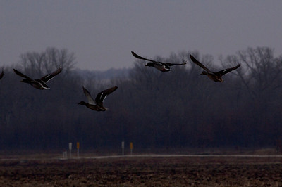 Mallards in flight at Cannon National Wildlife Refuge