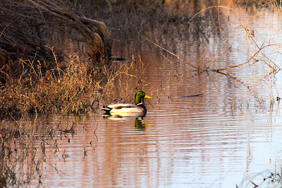 Mallard drake in irrigation canal at Riverlands.