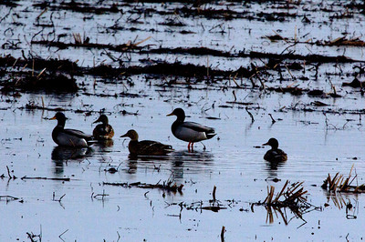 Mallards in field at Cannon National Wildlife Refuge