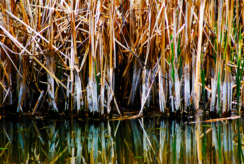 Common Cattail