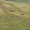 Musk Ox herd photo taken from Cessna on coastal plain