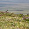 American Golden-Plover