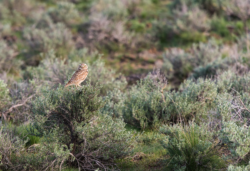 Saw bunch of Burrowing Owls, on top before Juniper Reservoir