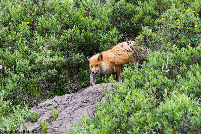 Red Fox on Kongakut River (ANWR)
