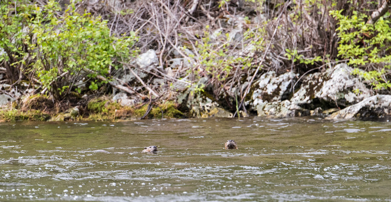 River Otter across from Pungo _D750498