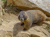 Teen Age Marmot